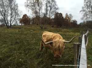 Cow in Jarvafaltet
